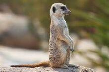 Spotted meerkat