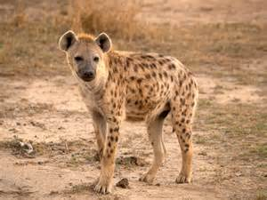 File:Spotted Hyena.jpg