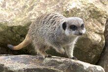 Striped meerkats