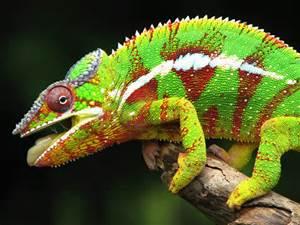 File:Panther lizard.jpg
