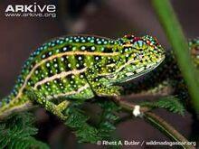 Jewelled Chameleon