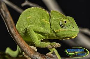 File:Veiled Chameleon.jpg