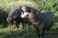 Hippopotamus pyg