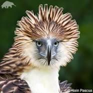 Philipphine eagle