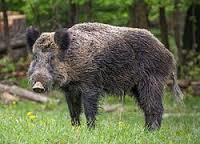 File:Wild boar.png