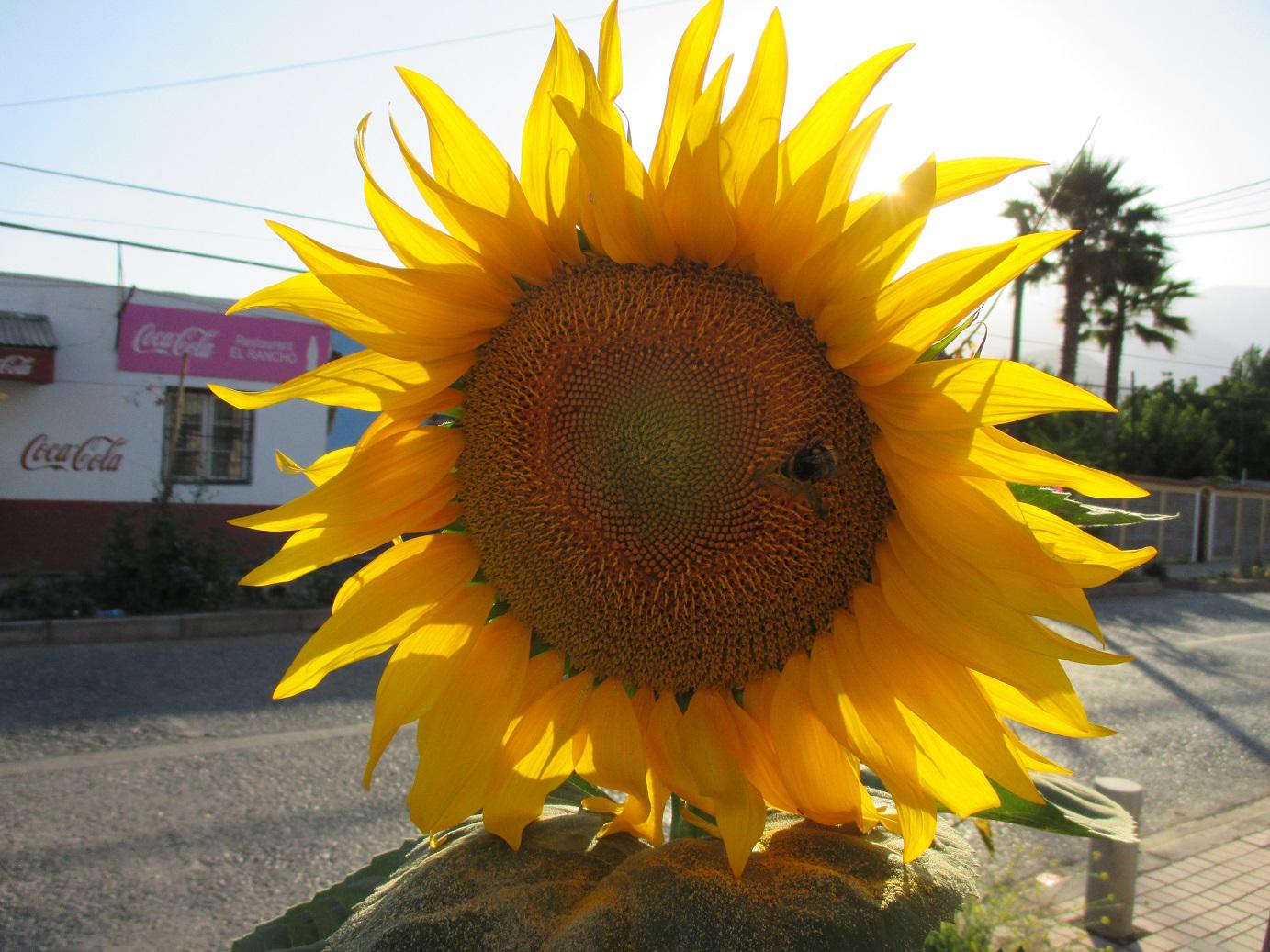 Common sunflower   Worldpedia Wiki   FANDOM powered by Wikia