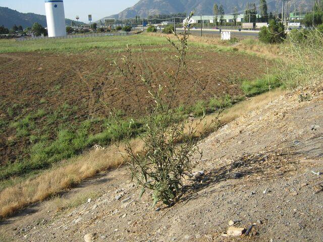 File:N acuminata mostazal 3178.JPG