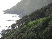 Bosque de olivillo en Punta Curinanco