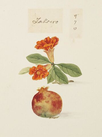 File:Naturalis Biodiversity Center - RMNH.ART.626 - Punica granatum - Kawahara Keiga - 1823 - 1829 - Siebold Collection - pencil drawing - water colour.jpeg