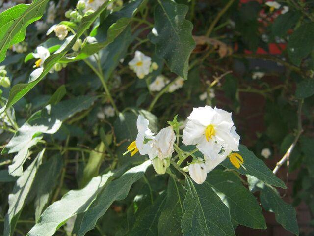 File:Solanum 3184.JPG