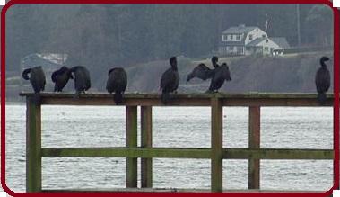 File:Rand-2-Pelagic cormorants.jpg
