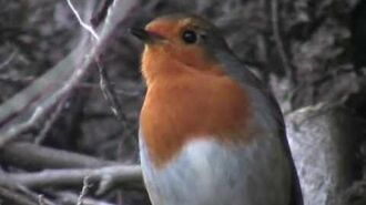 A Robin Singing (Erithacus Rubecula Rougegorge familier Pettirosso Petirrojo Rotkehlchen) 2