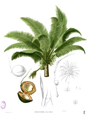 Cocos nucifera Blanco2.364