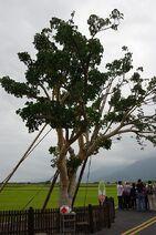480px-Takeshi Kaneshiro Tree at Chihshang, Taitung, Taiwan
