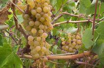 440px-PalominoListan Blanco grapes growing in Tenerife