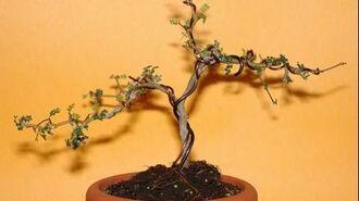 Sophora prostrata little baby bonsai