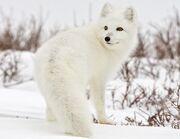 Arctic-fox-canada