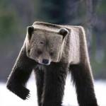 Funny-cubic-bear-150x150