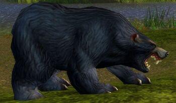 Black Bear Patriarch