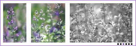 Lilacsm