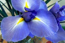 500px-Blooming-Blue-Iris-Flower-Photo