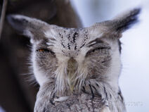 Arthur-morris-white-faced-scops-owl-head-otus-leucotis-lake-baringo-kenya
