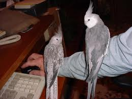 File:Cockatiels.jpg