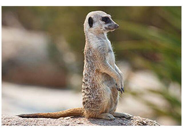File:Meerkat.jpg