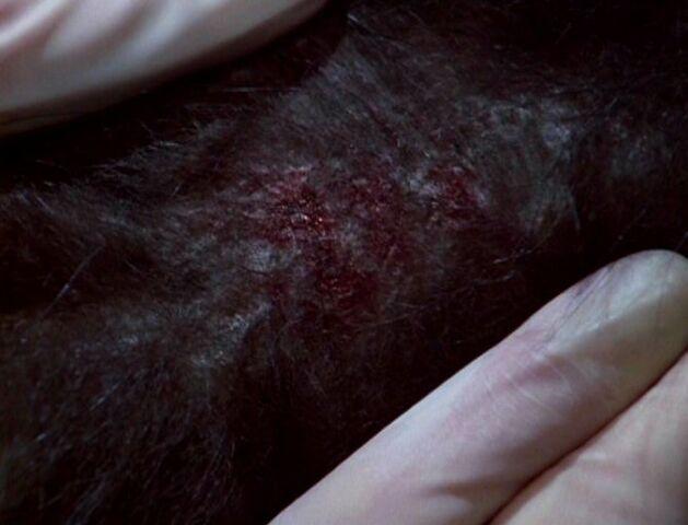File:Parasitic ice worm inside dog.jpg