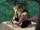 Sabretooth/Gallery