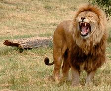 Lion-Robek