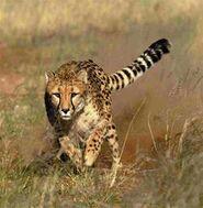 Linx-cheetah