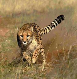 File:Linx-cheetah.jpg