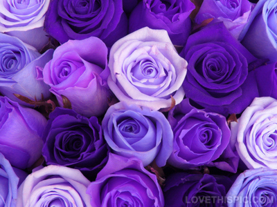 26411-Different-Shades-Of-Purple-Roses