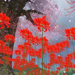 Lycoris Radiata flowers.