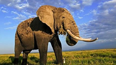 AFRICAN ANIMALS and the Emperor Elephant Nature Wildlife Documentary