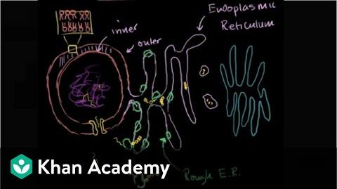 Endoplasmic reticulum and Golgi bodies Biology Khan Academy