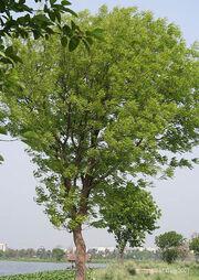 Maun ağacı