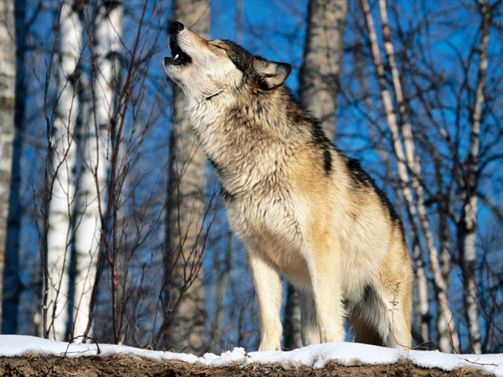 Image 1287650965 1024x768 grey wolf howling in the - Wolf howling hd ...