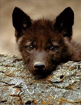 Image cute black wolf pup 1g youngonespack wiki fandom filecute black wolf pup 1g sciox Images