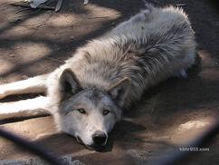 WolfPupPartyD
