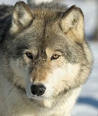Graywolfface