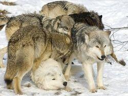 WolvesYellowstonePark 2