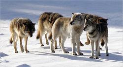 05wolf-articleLarge