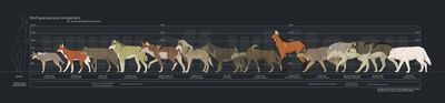 1000px-Wolf species size comparison by tanathe