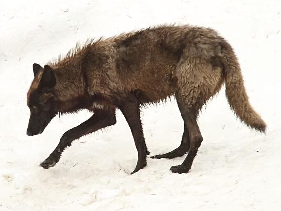 Image ys11 black wolf 117 9994g youngonespack wiki fandom fileys11 black wolf 117 9994g sciox Images