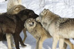 Wolves-lose-protection-us-states 65