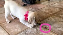 LABRADOR PUPPY FINDS A CRICKET FOR THE FIRST TIME!