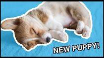 I Got A Corgi Puppy! Vlog