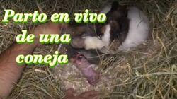 CONEJOS - El parto de una coneja (2ª parte)